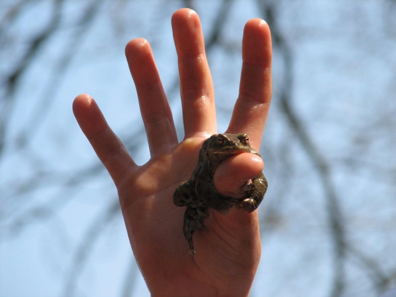Frosch freiwillig auf Kinderhand
